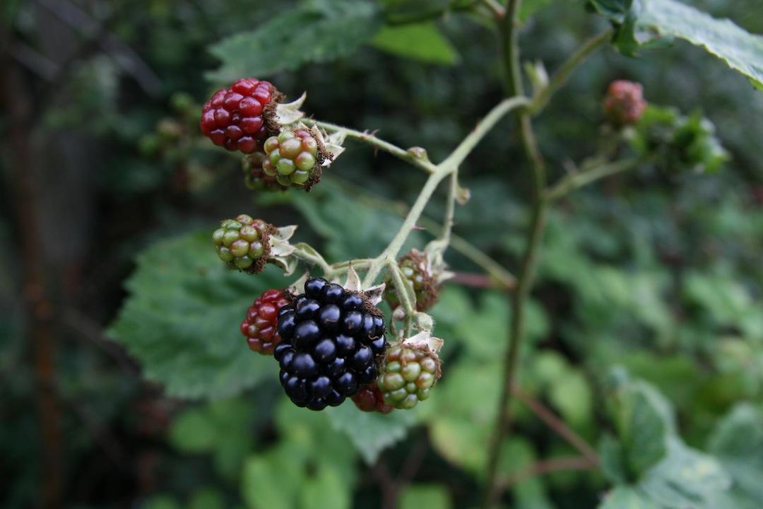 Bring on the blackberries